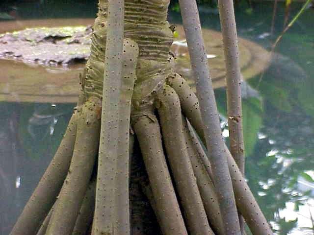 Pandanus sp.2