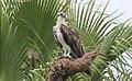 Pandion haliaetus (Osprey) photograph 21.jpg