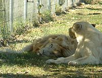Panthera leo krugeri -Parc des félins.JPG