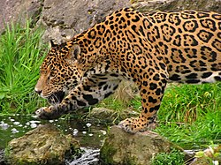 Panthera onca -Chester Zoo, Cheshire, England-8a (4).jpg
