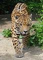 Panthera onca - Tiergarten Schönbrunn 3.jpg