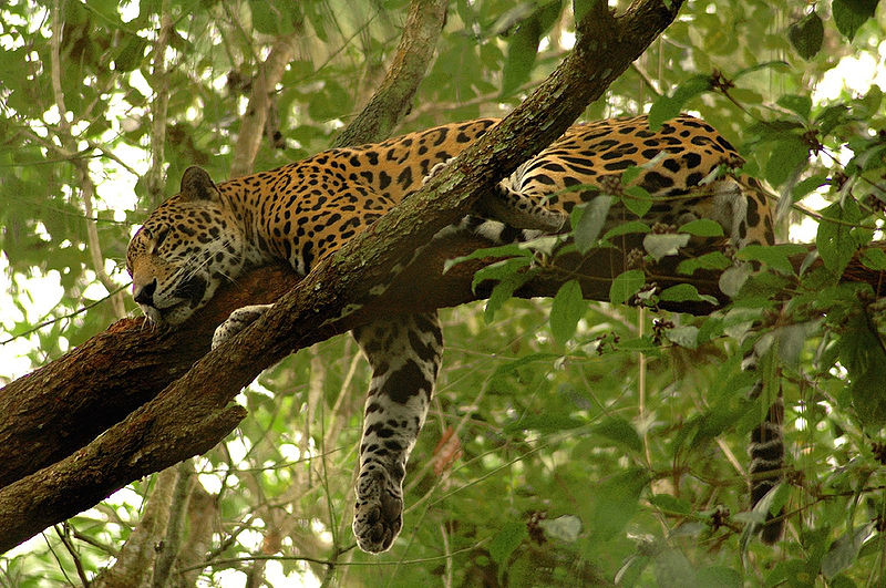 history of panthera onca Population genetics of jaguars (panthera onca) in the brazilian  nor its  historical connection to adjacent biomes such as the atlantic forest.