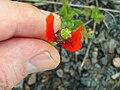 Papaver hibridum Var. minima Capsule 19April2009 DehesaBoyalPuertollano.jpg