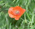 Papaver rhoeas in Aveyron (1).jpg