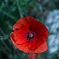 Papaver roheas-Coquelicot-fleur-20160603.jpg