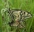 Papilio-machaon-180502.jpg