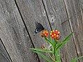 Papilio Polyxenes (Black Swallowtail - TX).jpg