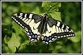 Papilio machaon - Flickr - didier.bier.jpg
