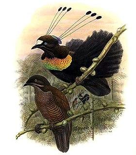 Lawess parotia species of bird