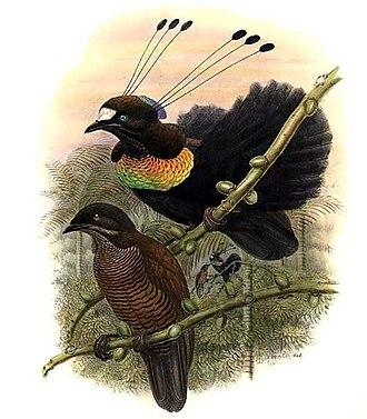 Lawes's parotia - Male above, female below