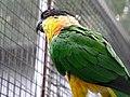 Parrot - Jardim dos Louros, Funchal, Madeira (200928516).jpg
