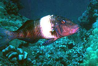 Manybar goatfish species of fish