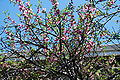 Peachblossoms3800ppx.JPG