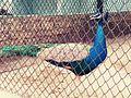 Peacock Maitri bag Zoo Close up.jpg