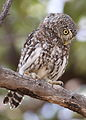 Pearl-spotted Owlet, Glaucidium perlatum, at Pilanesberg National Park, Northwest Province, South Africa (16780731120).jpg