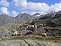 Pecore in Paradiso 7.JPG