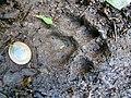 Pegada de onça parda (Puma concolor) na trilha Temimina Jani Pereira (37).jpg