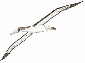Pelagornis - Life restoration of P. chilensis