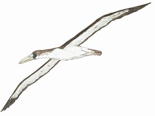 Pelagornis chilensis EF