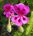 Pelargoniummagenteum.jpg