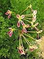 Pelargoniumtriste.jpg