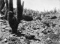 Pelarkaktéer, Cereus, vid ruinfältet Morohuasi. Torodalen, Morohuasi, Sydamerika. Argentina - SMVK - 003890.tif