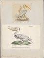 Pelecanus onocrotalus - 1700-1880 - Print - Iconographia Zoologica - Special Collections University of Amsterdam - UBA01 IZ18000157.tif