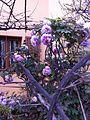 Peonia in fiore.jpg