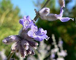 Perovskia atriplicifolia 3.jpg