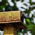 Petronia xanthocollis,yellow-throated sparrow 4.jpg