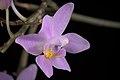 Phalaenopsis equestris var. rosea (Luzon, Philippines) Valmayor & D.Tiu, Philipp. Orchid Rev. A-V(3)- 18 (1983) (35428038806).jpg