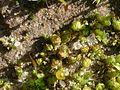 Phascum cuspidatum.jpeg