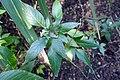 Phaulopsis imbricata-Jardin botanique de Berlin (4).jpg