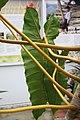 Philodendron billietiae 3zz.jpg