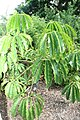 Philodendron goeldii 3zz.jpg