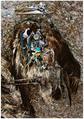 Phoebastria immutabilis dead chick.png