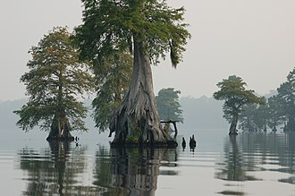 Great Dismal Swamp - Bald cypress in Lake Drummond, Great Dismal Swamp National Wildlife Refuge, Virginia