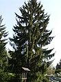 Picea abies0.jpg