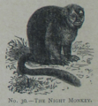 Picture Natural History - No 30 - The Night Monkey.png