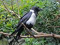 Pied Crow (Corvus albus) RWD2.jpg