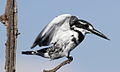 Pied Kingfisher, Ceryle rudis at Pilanesberg National Park, South Africa (15368720004).jpg