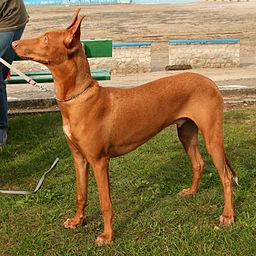 Pies faraona e34