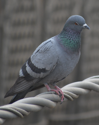 Columbidae - Feral pigeon perched on a supply cable