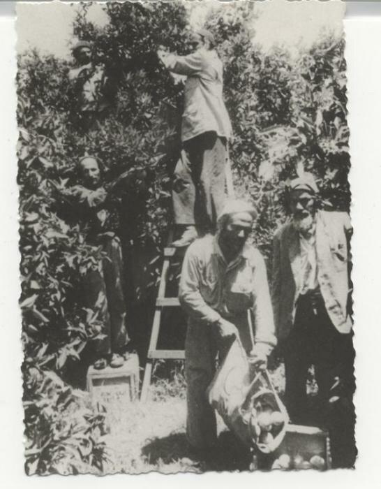 PikiWiki Israel 1492 Rehovot קטיף תפוזים