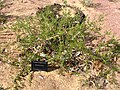 Pileanthus limacis.jpg