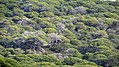 Pine forest at Carrapateira Portugal.jpg