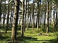 Pine wood, Eglingham Moor - geograph.org.uk - 1604742.jpg
