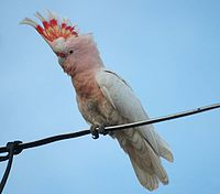 Pink Cockatoo Bowra Mar08.jpg