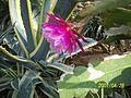 Pink Epiphyllum (3424271069).jpg