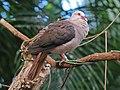 Pink Pigeon RWD3.jpg